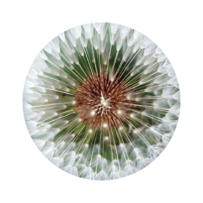 The O Dandelion